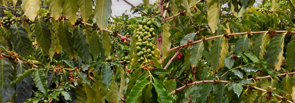 Kona Coffee Tree